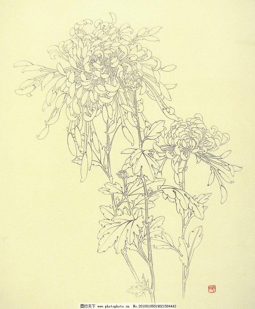 清雅菊花 国画 工笔 菊花线描稿 工笔画步骤图 设计素材 花卉