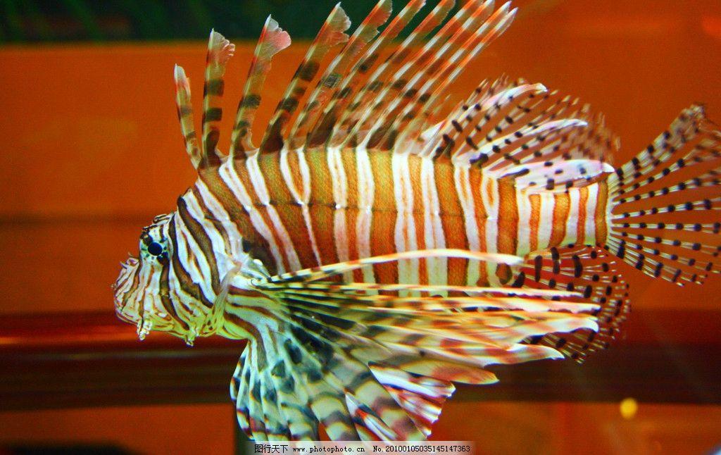 海洋生物 狮子鱼 海洋 生物 动物 鱼 狮子 条文 海底世界 毒 热带鱼
