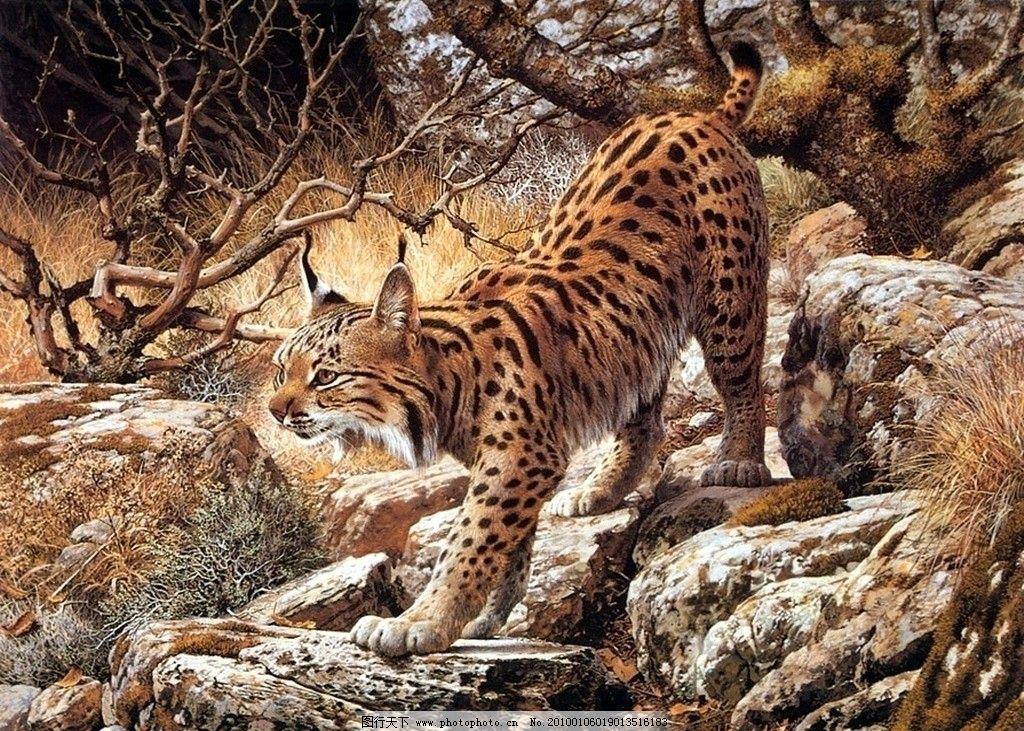 猞猁 野生动物图片