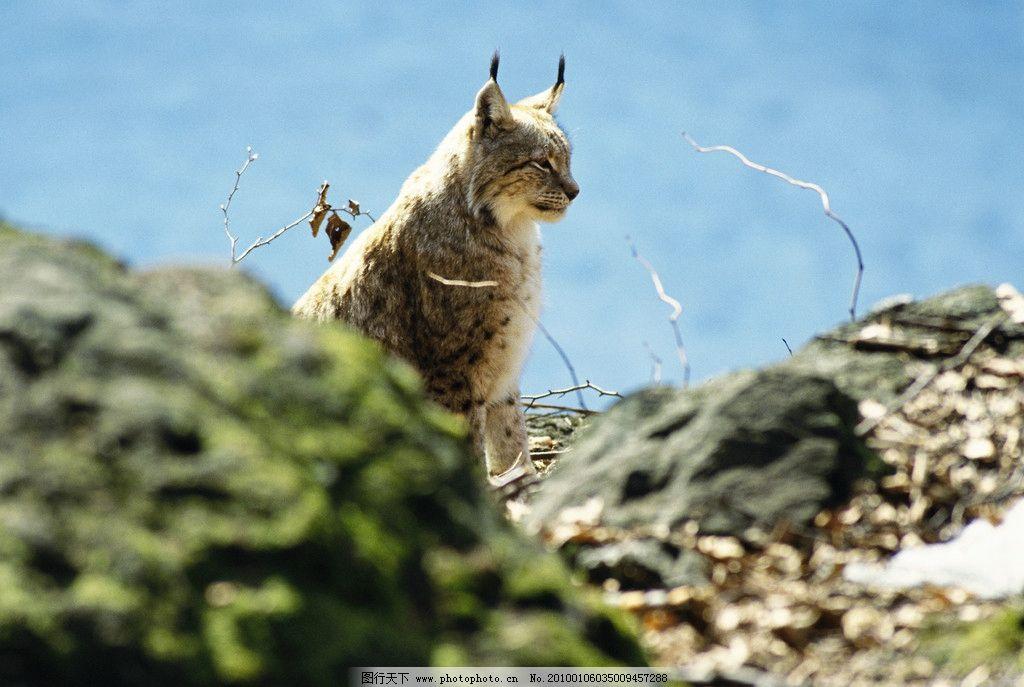 豺狼 狼 野生 动物世界 野生动物 生物世界 摄影 300dpi jpg