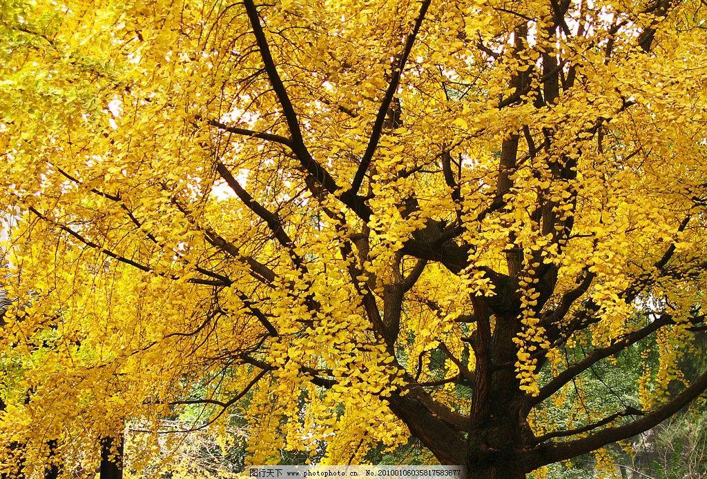 壁纸 风景 森林 银杏 银杏树 银杏叶 桌面 1024_695