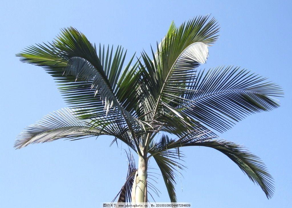 椰树 树木 树叶 叶 热带植物 天空 景物家园 山水风景 自然景观 摄影