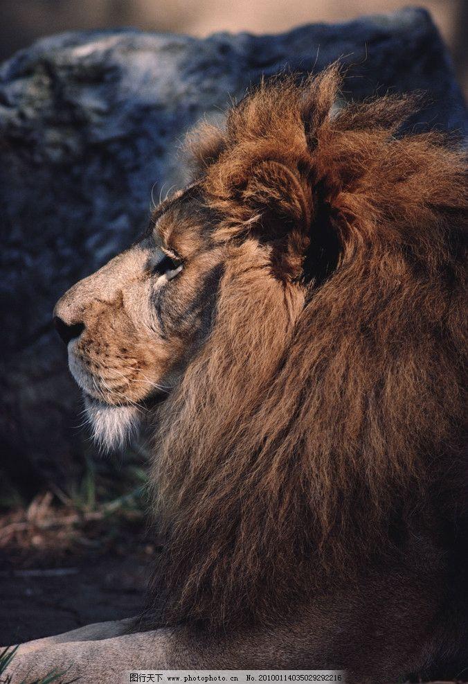 狮子 凝视 眼神 野生动物 生物世界 摄影 300dpi jpg