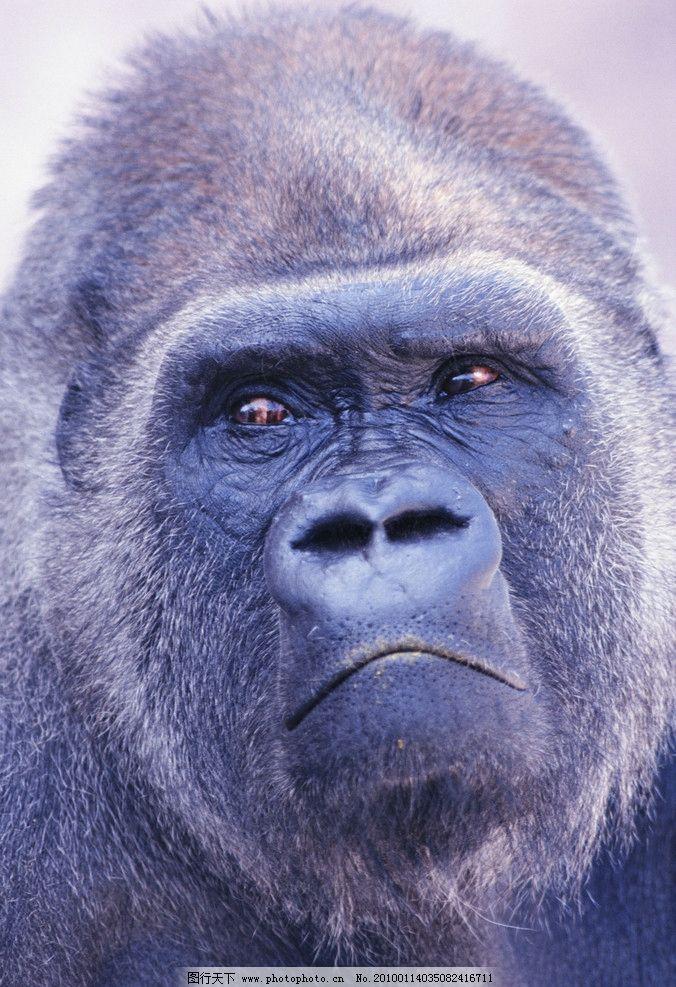 猩猩 黑猩猩 大猩猩 头部 脸 表情 哀伤 悲伤 眼神 野生动物 生物世界
