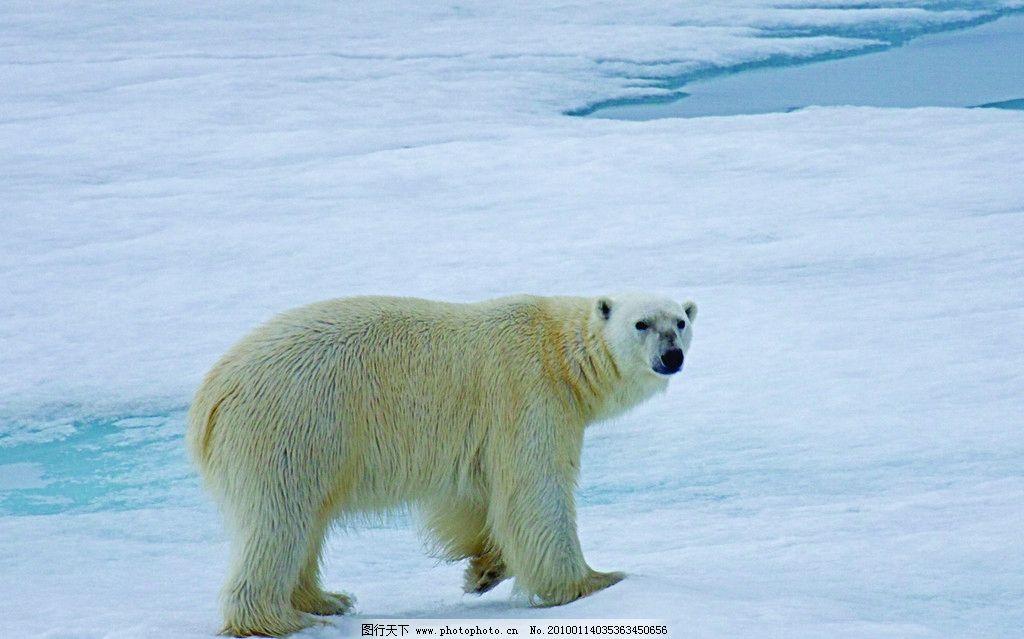 北极熊 回头 雪地 海水 动物 鸟类 生物世界 摄影 72dpi jpg