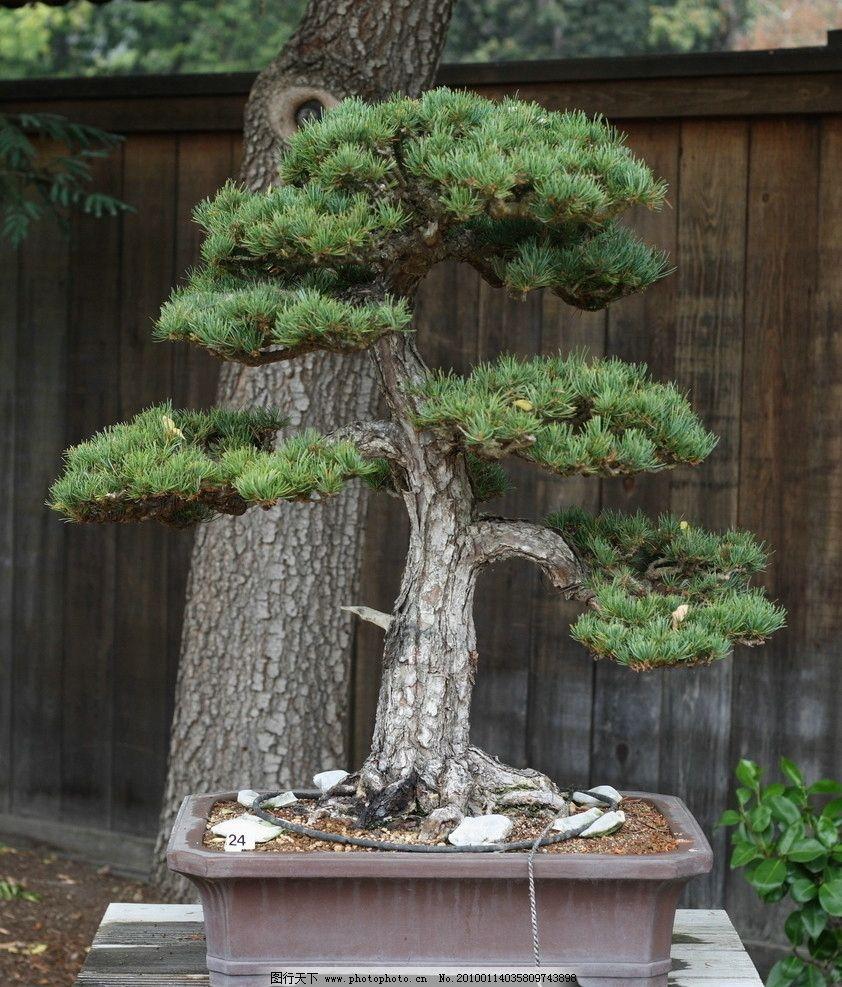 树木盆景图片