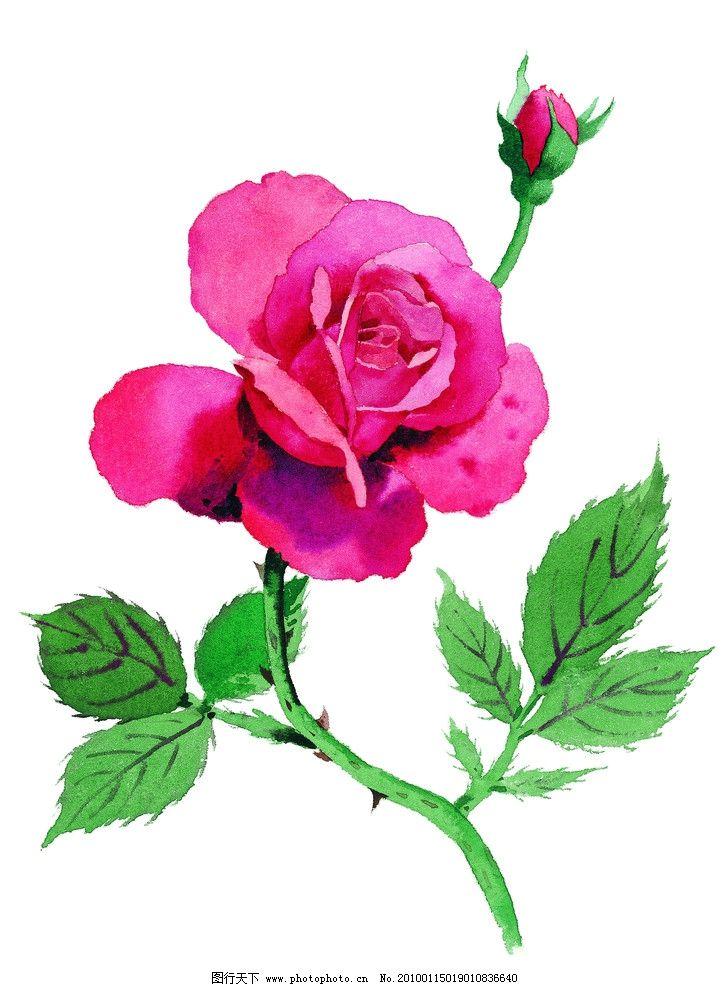花 玫瑰花朵 红玫瑰 红色玫瑰 花卉 盛开 含苞待放 怒放 花朵 水彩