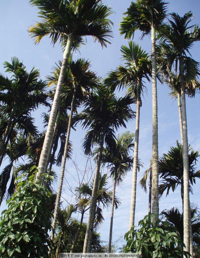 高耸的椰子树 海南 椰子树 椰林 海南一游摄影原创作品 国内旅游 旅游