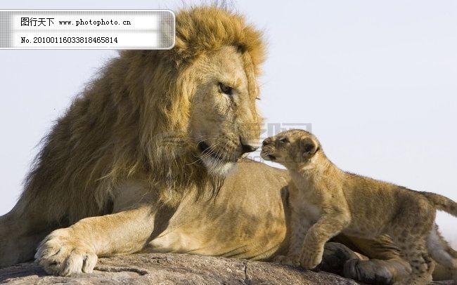 背景图片 背景图片免费下载 可爱动物 母子 狮子图片 图片素材