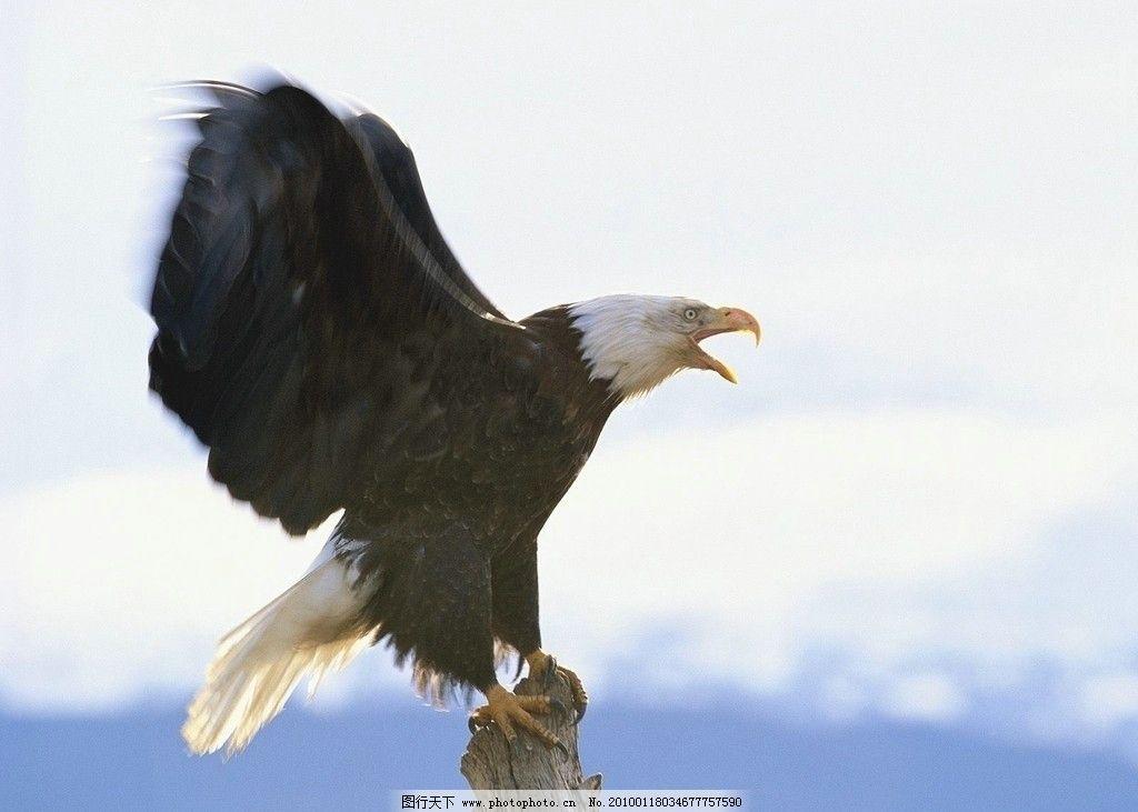 老鹰 风景名胜 自然景观 摄影 72dpi jpg