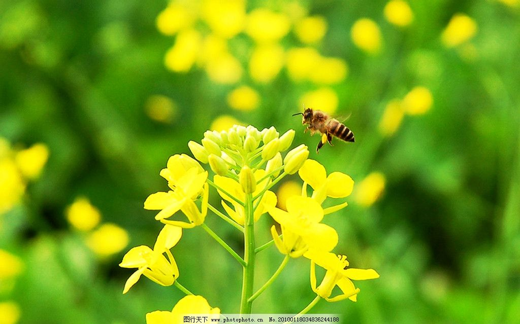 油菜花 春天 蜜蜂 自然风景 自然景观 摄影