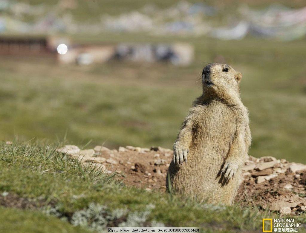 土拨鼠 田野 可爱 站立 野生动物 生物世界 摄影
