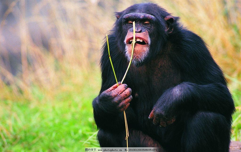 动物世界 猩猩 野生动物 生物世界 摄影 304dpi jpg