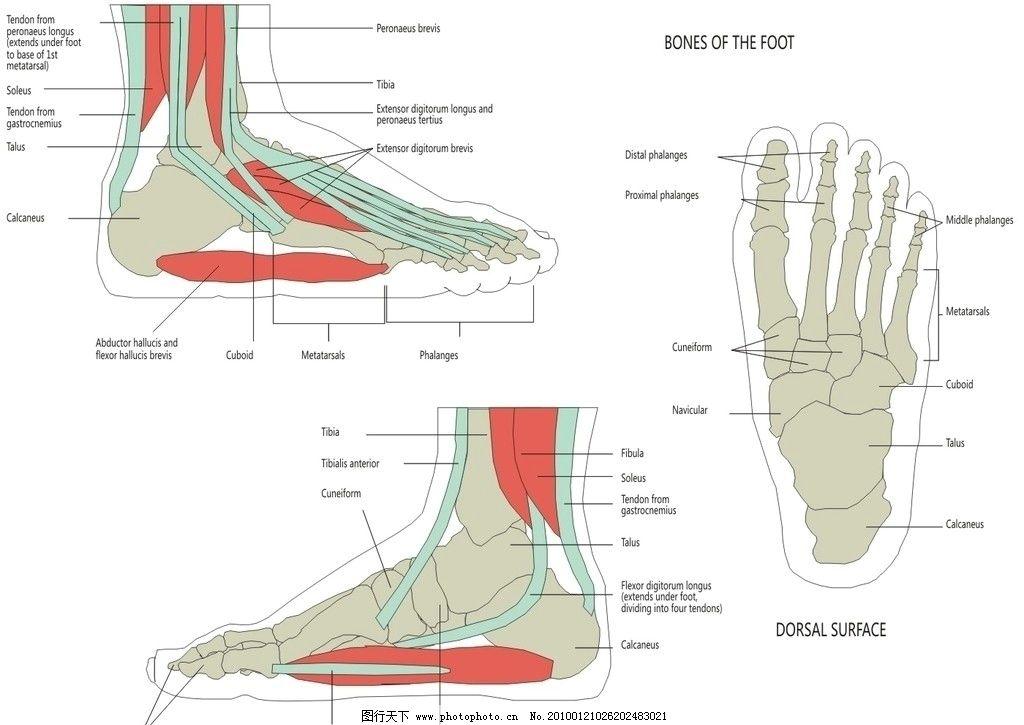 人体骨骼足部矢量图图片
