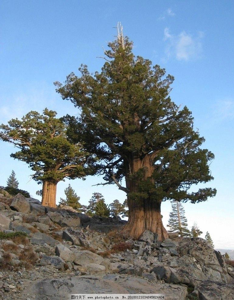 大树 树木 树林 植物 森林 植被 生物 风景 美丽 壮观 针叶树