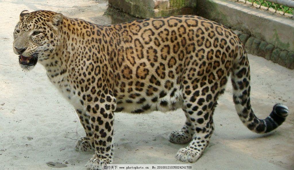 猎豹 豹 动物 野兽 凶狠 斑纹 野生动物 生物世界 摄影 72dpi jpg