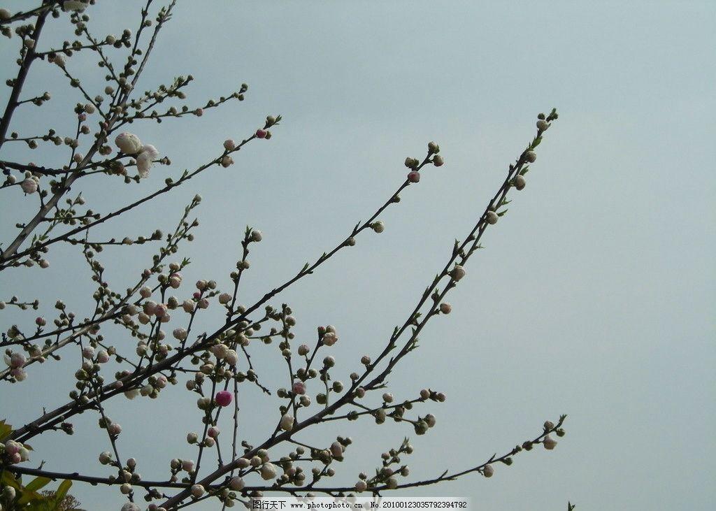 花枝 桃花 白色花朵 春天 花骨朵 含苞待放 自然风景 自然景观 摄影