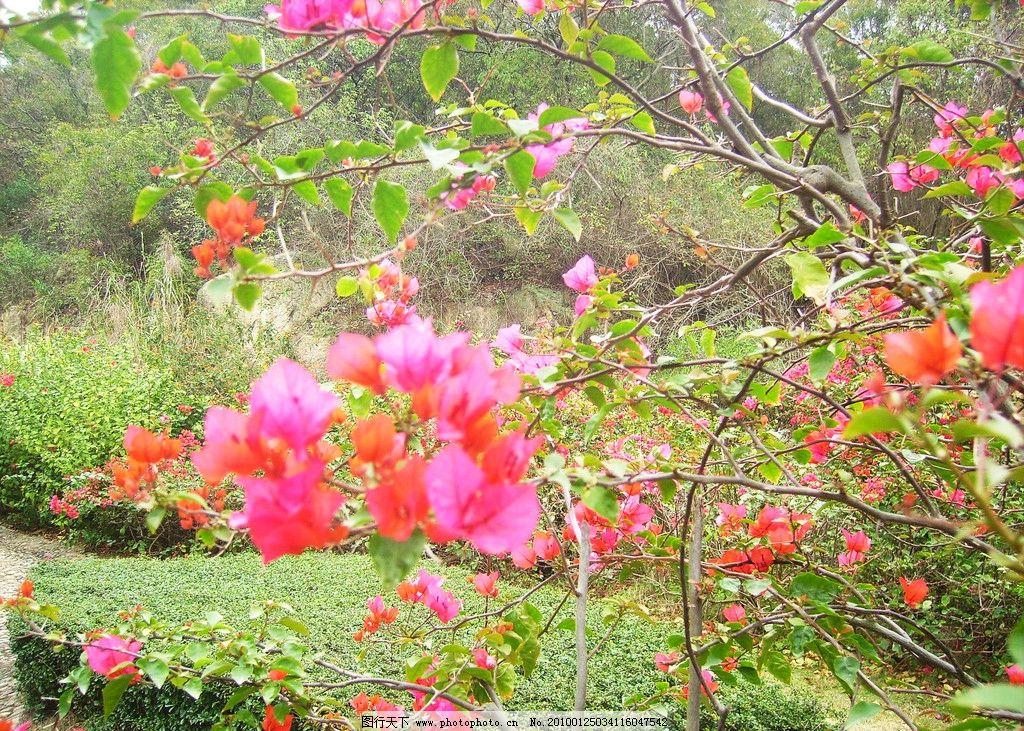 三角梅 厦门市市花 绿草 红花 风景 自然 树 景观 花草 漂亮