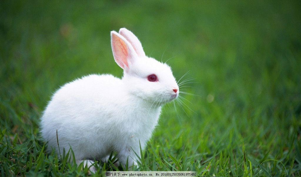 小白兔 草地 小白免 野生动物 生物世界 摄影 72dpi jpg