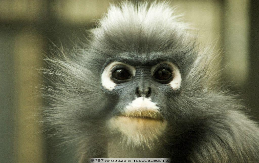 猩猩 野生动物 生物世界 摄影 240dpi jpg