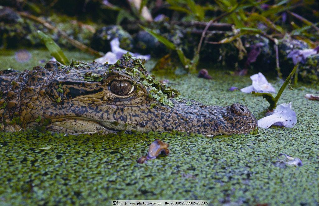 鳄鱼特写 鳄鱼 短吻鳄 爬虫类 水生动物 野生动物 亚马逊 特写 近照