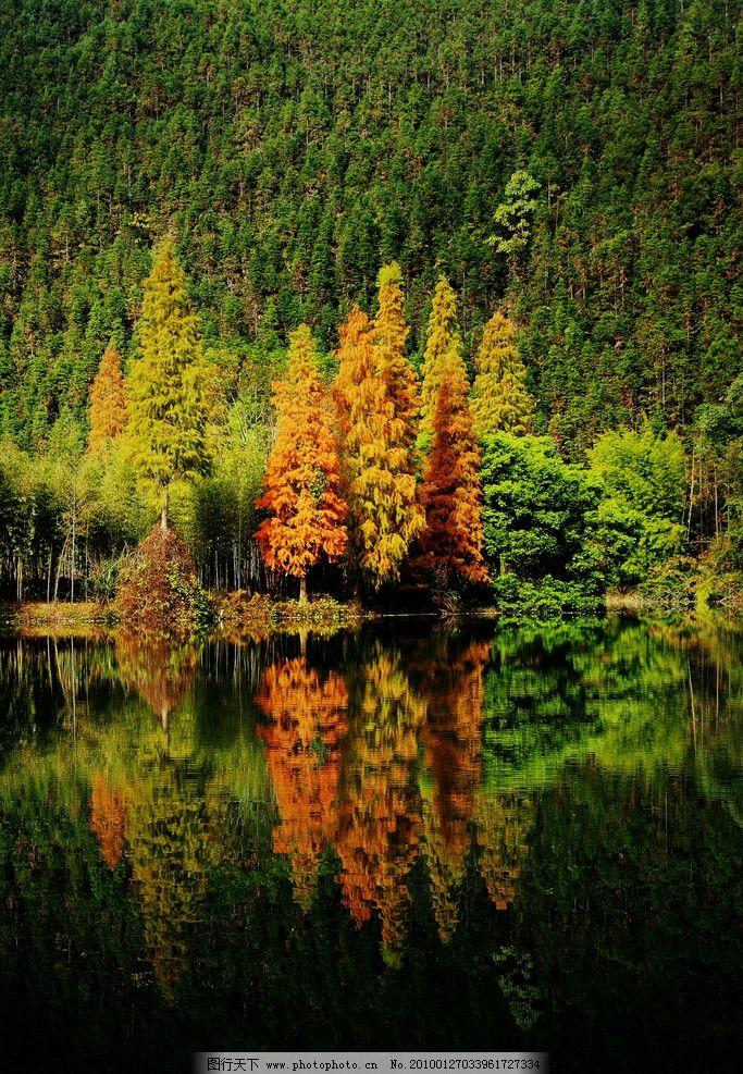 杉树林 美丽 自然 清新 金色秋天 湖光倒影 自然风光 国内旅游