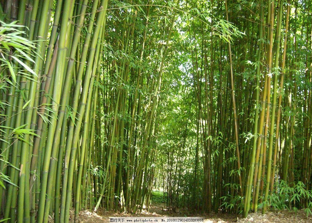 竹林 竹子 自然风景 自然景观 摄影 230dpi jpg