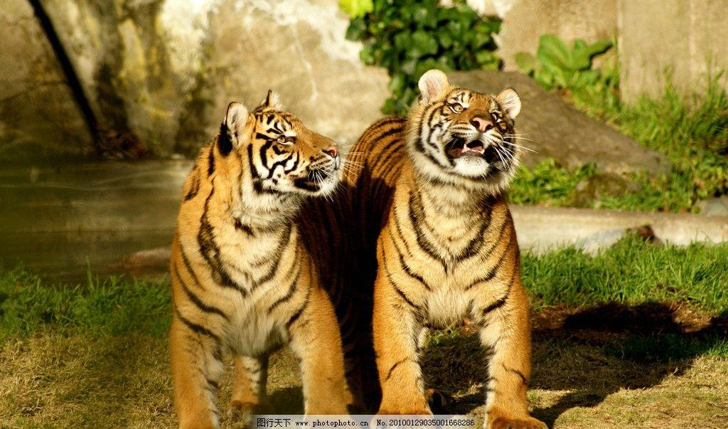两只老虎 野生动物 生物世界