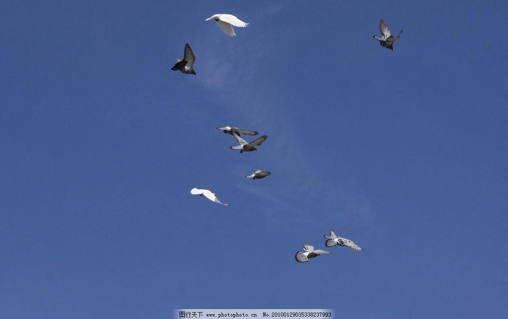 鸽子 飞行 飞翔 和平 蓝天 白云 滑翔 翅膀 羽毛 象征 翱翔 飞 世界