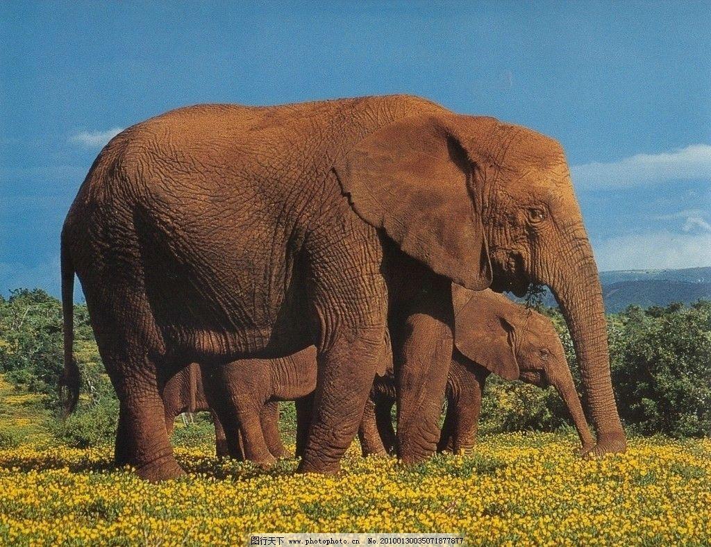 大象 野生动物 生物世界 摄影