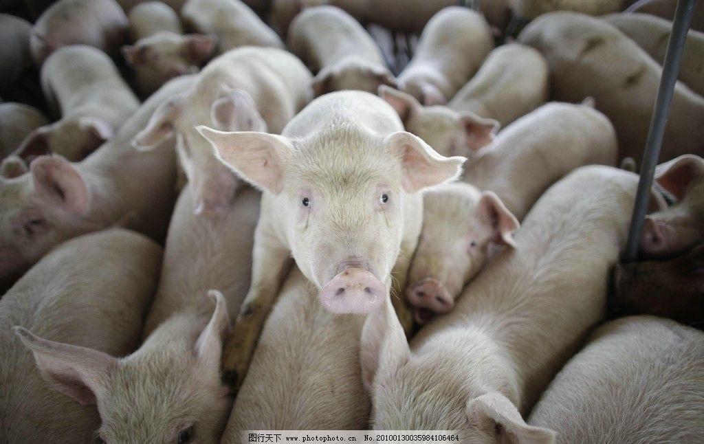 一群可爱的猪图片