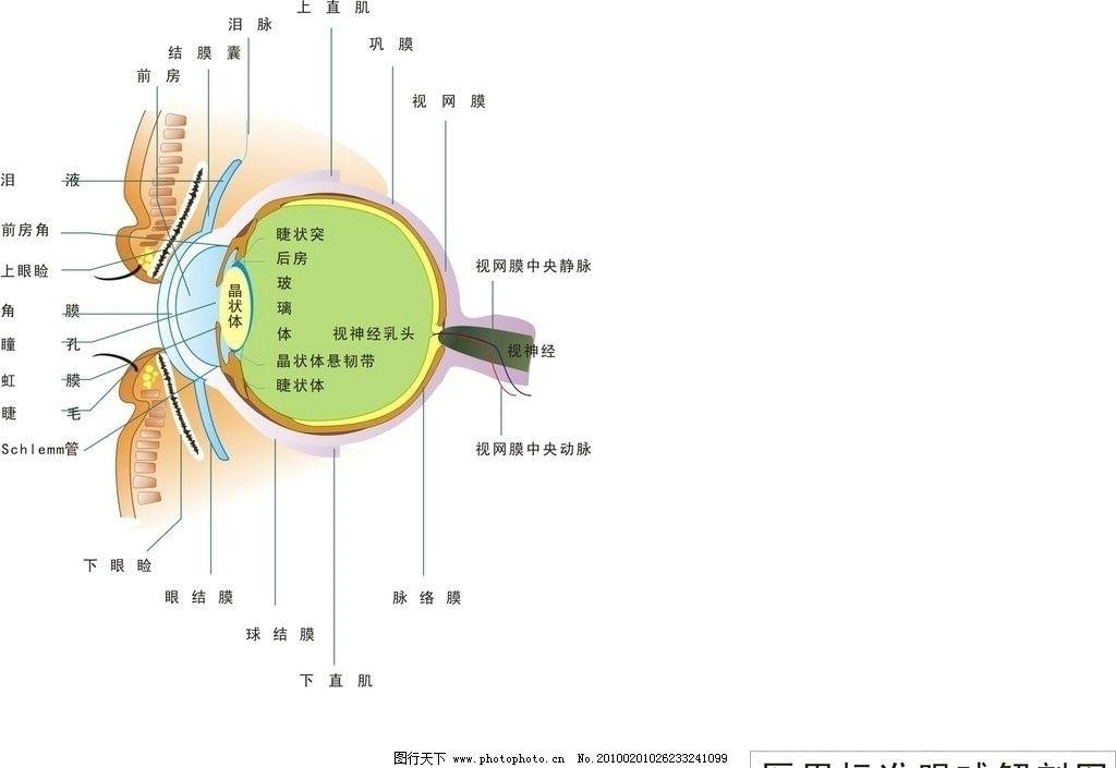 眼球解剖图 眼球 解剖 医疗 医疗保健 生活百科 矢量 cdr
