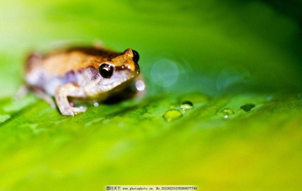 青蛙 摄影图库 生物世界 野生动物 摄影 300dpi jpg