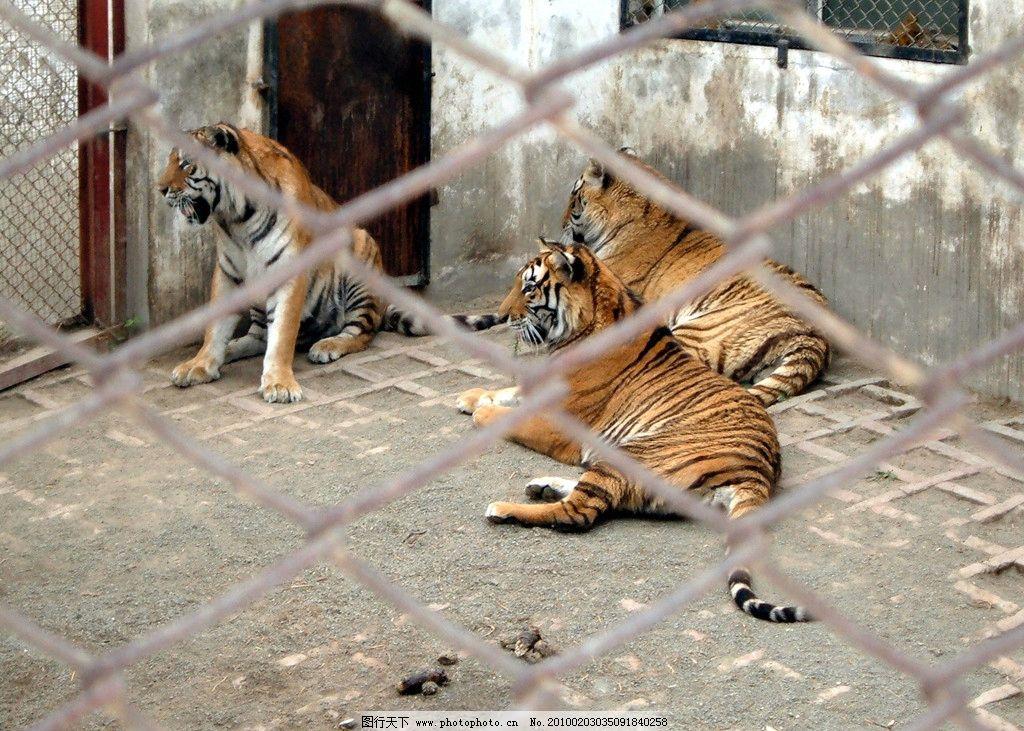 东北老虎实拍写真 哈尔滨 虎园 动物 野生动物 动物实拍摄影图