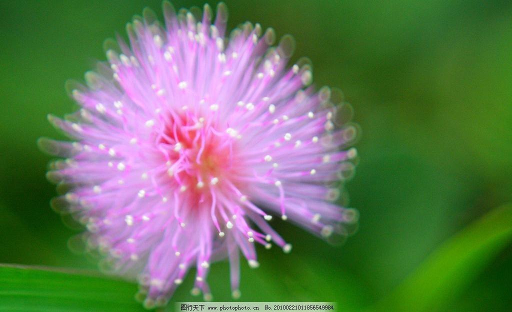 花蕊 壁纸 纯洁 粉色 风景 花草 花卉 花蕊图片素材下载 开花