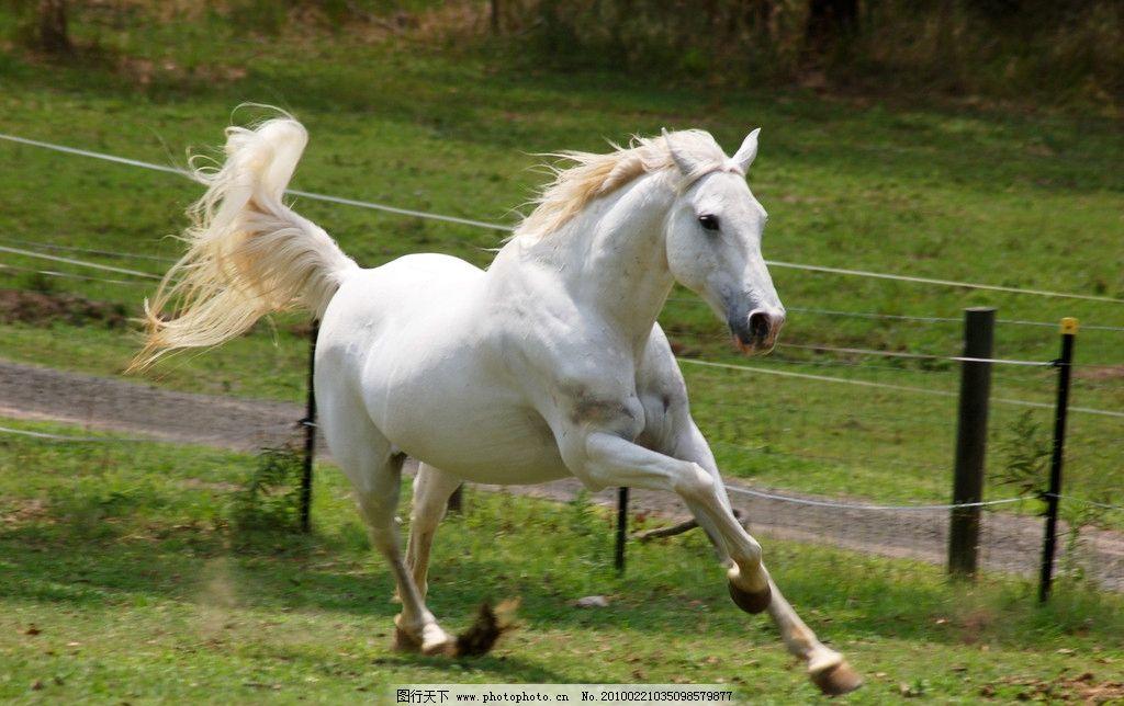 奔跑的白马图片_野生动物_生物世界_图行天下图库
