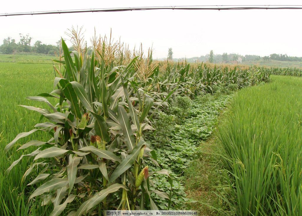 田埂玉米丰收图片