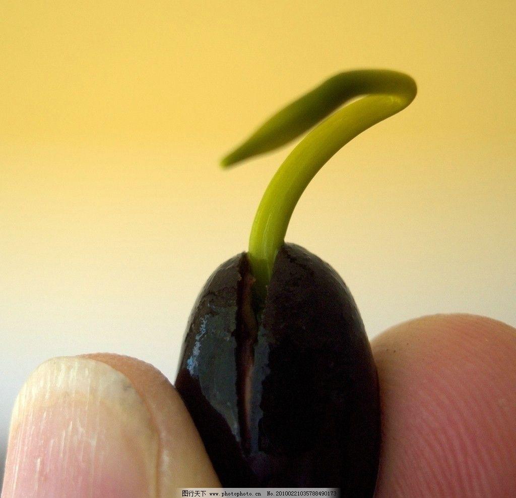 手中发芽的莲子图片