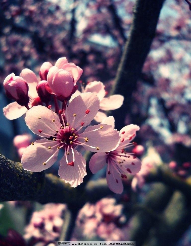 初春的桃花 花 桃树 桃花 树木 植物 花朵 鲜花 初春 春天 花草 生物