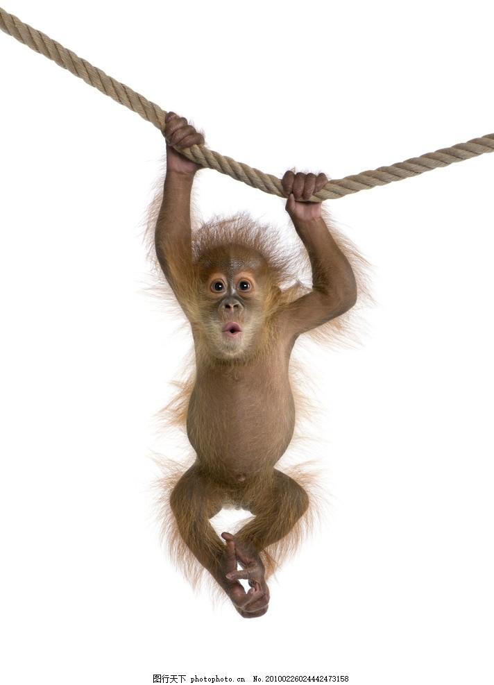 可爱的猴子高清 可爱的猴子高清图片 动物 绳索 绳子 悬挂 吊挂