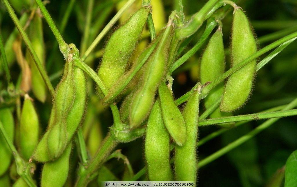 黄豆是什么植物