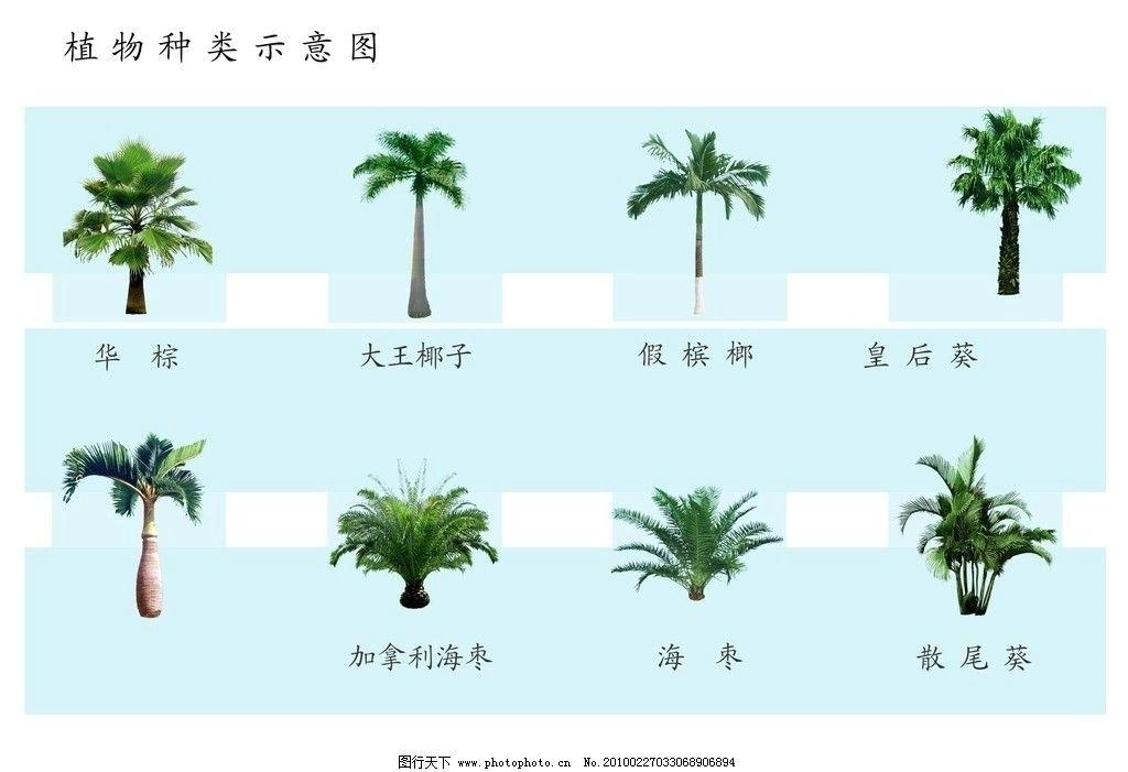 棕榈科植物图片