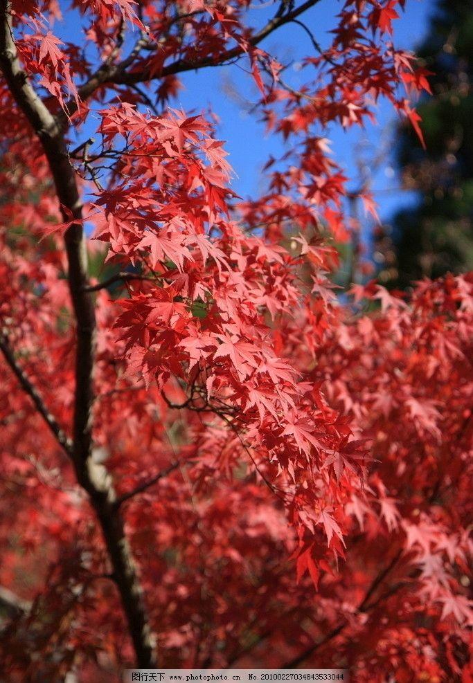 枫叶红了高清照片图片