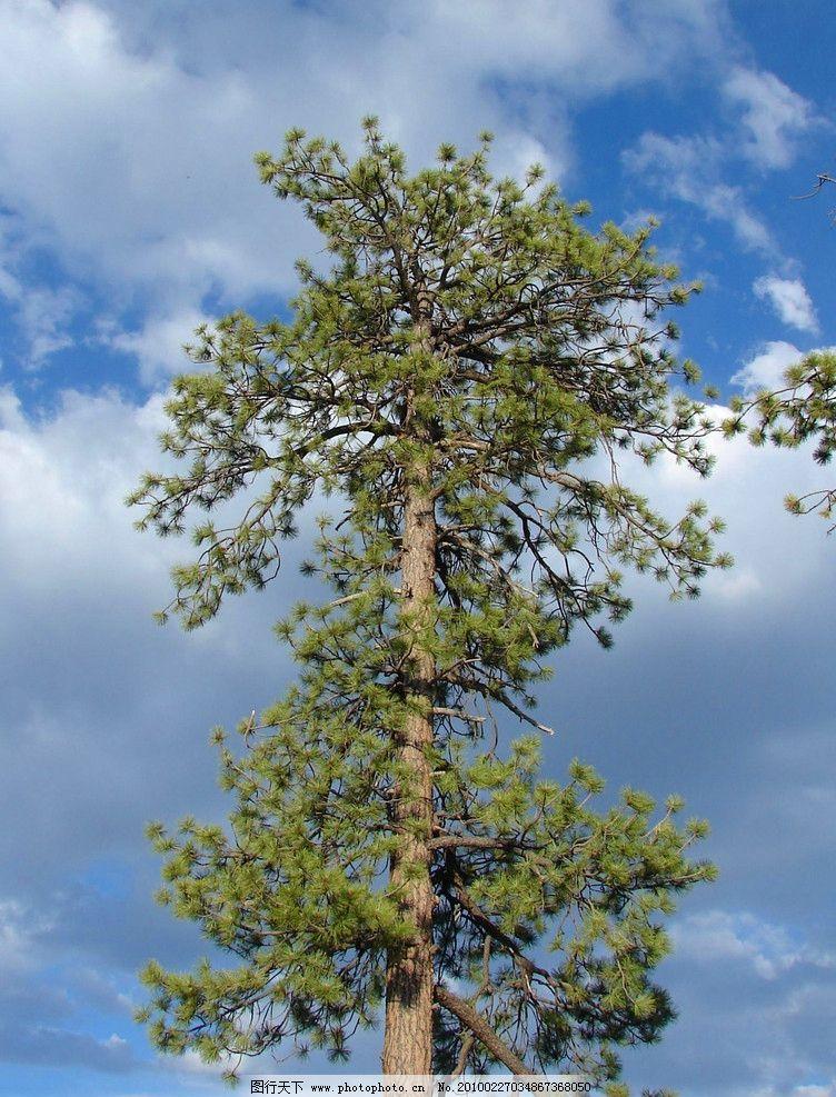 大树 树 树木 树林 植物 森林 植被 生物 风景 美丽 壮观 针叶树 自然