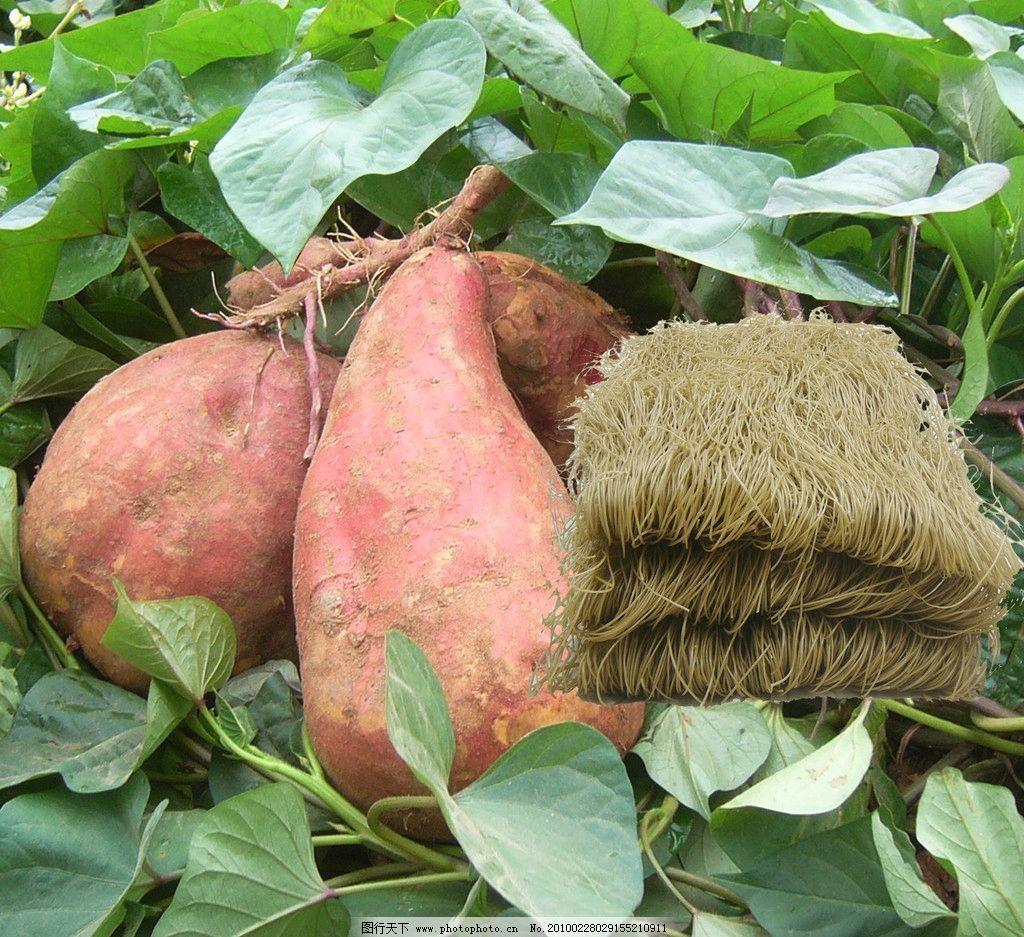 红薯 红薯粉条素材 红薯地 红薯块 红薯粉条 广告设计模板 包装设计