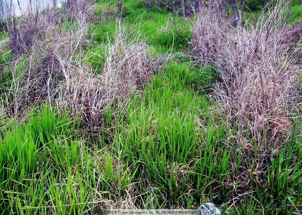 初春的野草 绿草 枯草与绿草 生物世界 春天 自然风景 自然景观