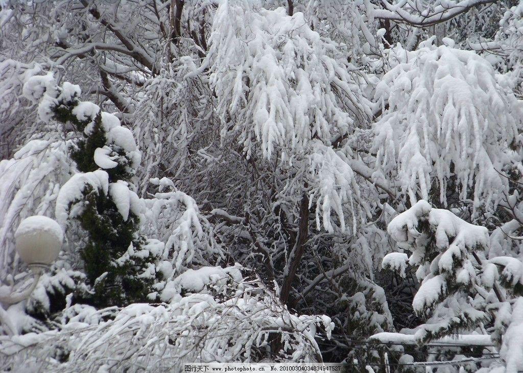 琼枝玉叶2 琼枝玉叶 雪压枝头 冬天 风景 下雪 雪景 美景 摄影 风景