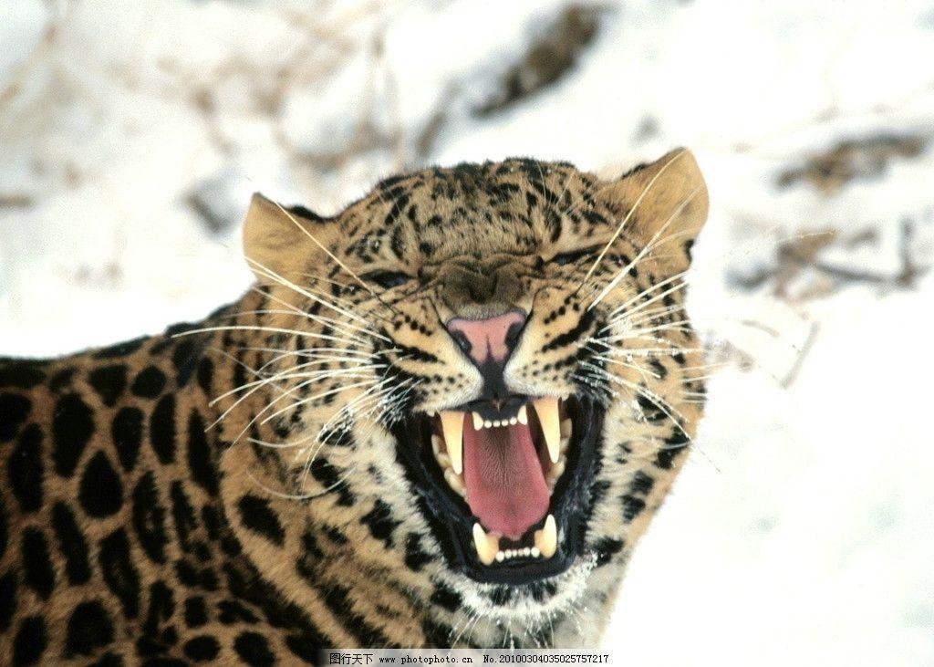 雪豹 猫科动物 哺乳 雪山 寒冷 地带 野外 爬行 野生动物 生物世界
