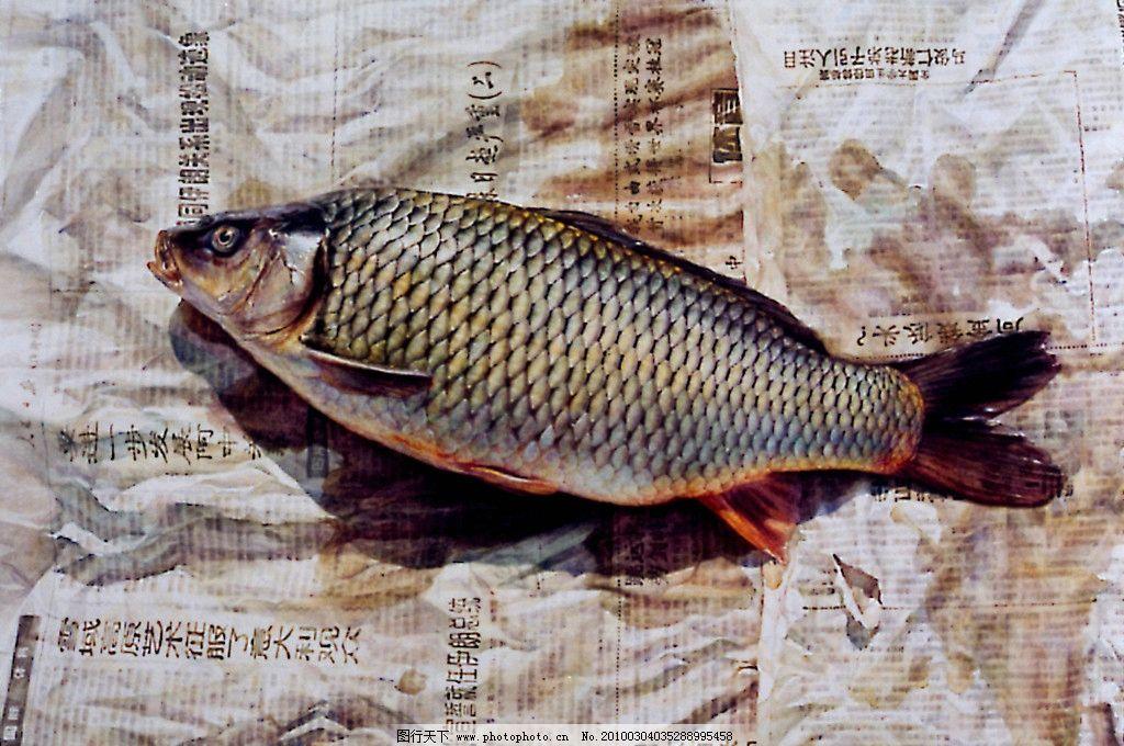 鲤鱼 国画 绘画 工笔 写实 动物 水彩 报纸 鱼类 生物世界 摄影 263