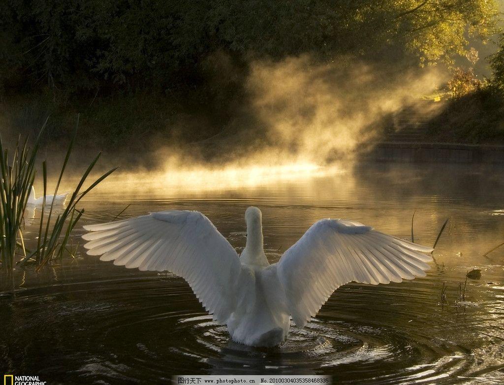 白天鹅 戏水 迷人 可爱 丰满 国家地理图片 鸟类 生物世界 摄影